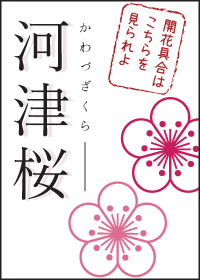河津桜開花状況